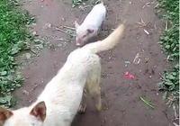 小豬一直跟狗狗後面玩耍,主人疑惑的時候,看到這真相大白了!