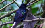 野鳥圖集:蜂鳥圖片