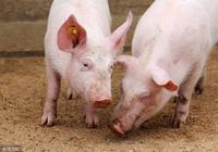 秒用葡萄糖能治豬病,養豬人你知道麼?