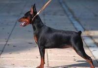 世界名犬——迷你杜賓犬 小鹿犬