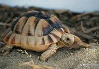 埃及陸龜的生存現狀及飼養方法分析