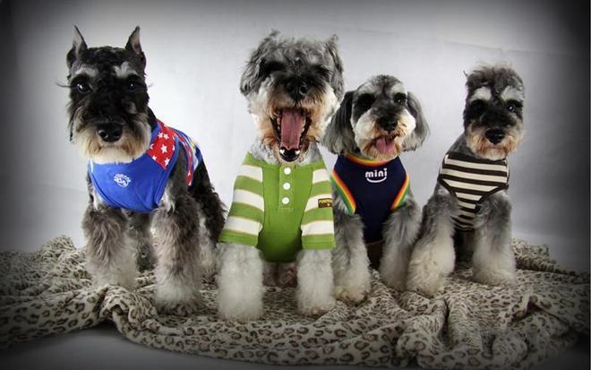 動物圖集:可愛的雪納瑞犬
