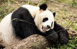"""國外攝影師探訪四川大熊貓保護基地 鏡頭下""""滾滾""""萌態百出"""