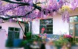 現實生活中的世外桃源,紫藤山莊紫藤花開 ,引得遊客慕名來