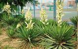 植物美圖:鴛鴦茉莉