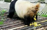 看四川大熊貓,萌萌噠