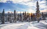 雲杉樹木風景圖集