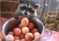 小浣熊想偷顆蛋來吃,熟練伸出雙手後讓人看了都覺得人生好難