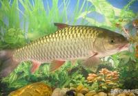 """""""四大家魚""""有鯉魚嗎?為何農村養殖青魚的越來越少了?"""