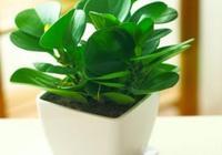 株型小巧,葉片碧綠圓潤可愛,這花好養又好看,值得擁有