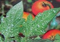 移栽作物防治蚜蟲、飛蝨、薊馬,高人有高招