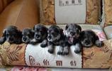 動物圖集:小型雪納瑞犬圖集1