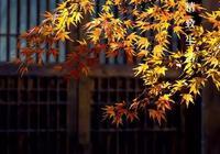 為什麼世人皆愛秋葉之靜美?