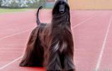 世界上最笨的狗狗,智商排名墊底,它就是阿富汗獵犬