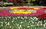 這麼多顏色品種的鬱金香,你知道分別代表什麼花語嗎?