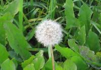 有故事的小草——蒲公英