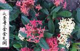 廣西欽州實拍花草系列(一):推薦龍船花作為我們的市花,可好?