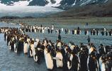 企鵝:企鵝捕食特點