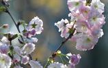 普賢象,一個很奇特的櫻花名