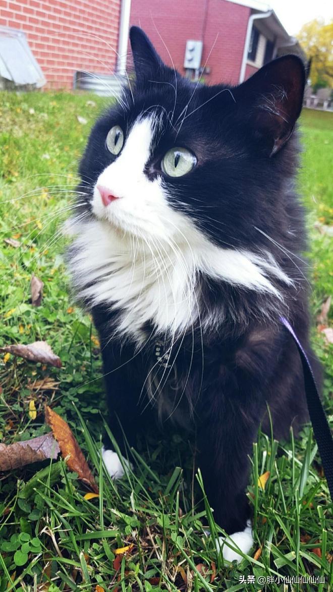 在家是條龍,在外是條蟲。你的貓咪遛彎了嗎?遛貓的6個注意