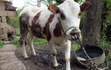重慶雲陽:農民養牛,花牛成年後價值1萬元,可產牛仔賣錢