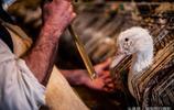"""一隻鵝變成美食""""鵝肝""""背後的過程,只能過幾小時正常""""鵝生活"""""""
