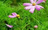 格桑花的傳說:找到八瓣格桑花就找到了幸福!你找到了嗎?