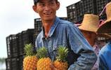 菠蘿的海,菠蘿收穫的季節