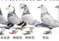 垃圾灰配白色鴿子出什麼鴿子?