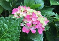 """夏季扦插繡球花,簡單""""3步"""",成活率更高,一下繁殖20棵"""
