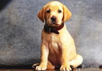 拉布拉多狗狗訓練方法!