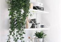 除了綠蘿、吊蘭,還有哪些室內好養的吊籃花卉?