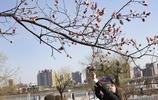 吉林市滿城杏花怒放,春光明媚的日子到了,出去踏春了嗎?