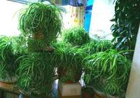 養綠蘿吊蘭,這2種東西不能少,用了呼呼長爆盆,好用!