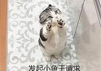 折耳貓發起了一個小魚乾請求,卻遭主人拒絕,隨後的表情亮了