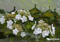 揚州瓊花即將盛放,幾個最佳觀賞地在這裡