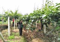 9月獼猴桃第二次膨大期,如何增加獼猴桃產量和硬度