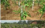 農村種植戶近百畝火龍果差點虧損,女兒的一個建議兩年翻了好幾翻