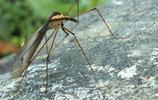 日本蚊子:地球上最大的蚊子,一般蚊子的10倍大,不吸血不侵擾人畜