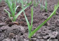 在農村種植的大蒜,有人出4000一畝承包了,這樣划算嗎?