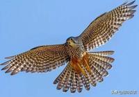 每小時386公里!它不是世界最快動物,但卻是俯衝最玩命的動物