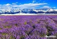 花開在天山,不是簡單的綻放,是春天獻給偉岸又憨厚的天山的媚眼