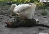 """農村有""""三霸"""",土狗公雞大白鵝,當它們遇上蛇時誰更厲害?"""