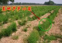 蘆筍栽培的日常管理 蘆筍怎樣栽培