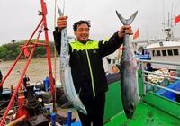 清明的馬鮫魚,已經到了最肥美的時刻