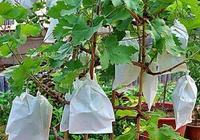 盆栽葡萄的優良品種盆栽紅乳葡萄