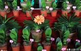 您見過價值上百萬的君子蘭嗎?長春君子蘭節上的君子蘭比房還貴