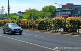 為什麼五月的環路月季奼紫嫣紅 因為月季是北京市市花