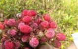 廣元這個季節採摘野草莓