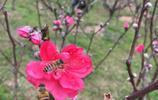 深圳蓮花山桃花,已開始開了,你來看了嗎?